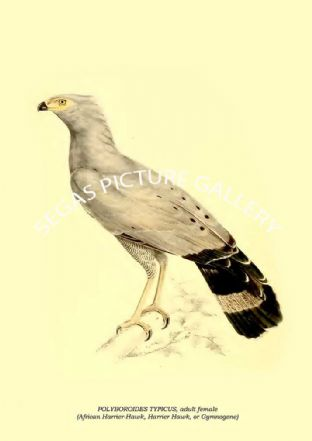 POLYBOROIDES TYPICUS, adult female - African Harrier-Hawk, Harrier Hawk, or Gymnogene